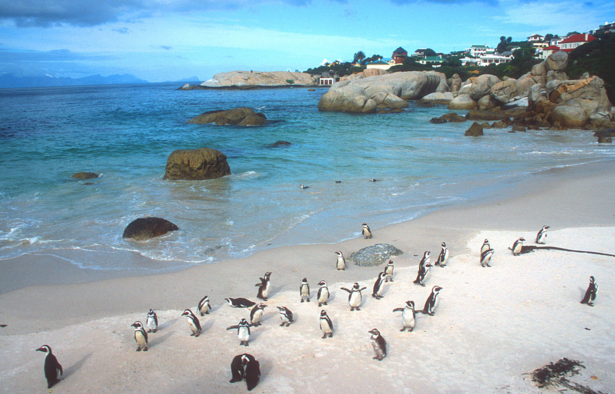 Boulders Bay Penguins Are the Perfect Excuse to Take Advantage of Business Class Deals to Cape Town - IFlyFirstClass